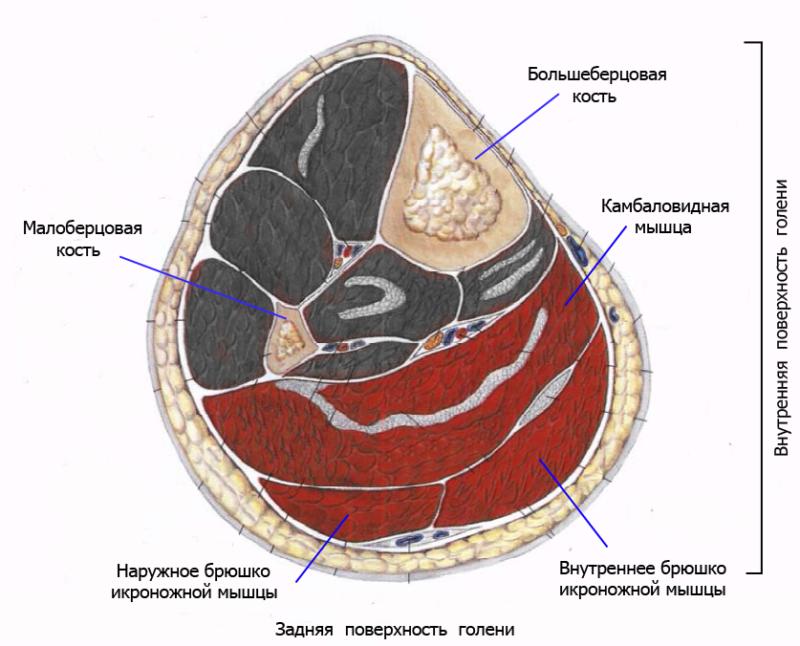 Поверхностный слой задней группы мышц